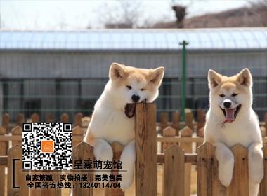 高品质日系秋田犬,赛级品质证书齐全 三包完美售后