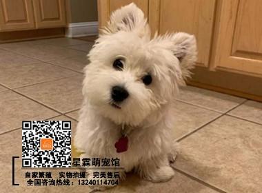 犬舍繁殖的西高地白梗幼犬 可实物挑选 签协议 完美售后