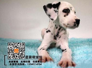 犬舍繁殖出售 纯种健康斑点狗 疫苗齐全签保障协议