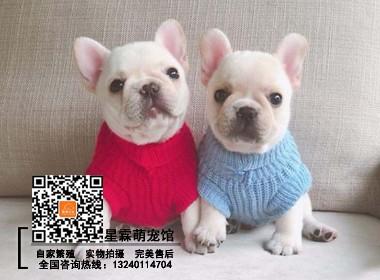 认证犬舍出售高品质幼犬 品相一流疫苗齐全