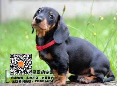 犬舍繁殖的腊肠幼犬 可实物挑选 签协议 包养活
