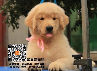 精品顶级赛级血系金毛幼犬 赛级品质完美体型 疫苗齐全