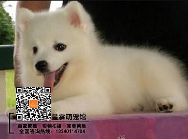 高贵气质日本银狐犬 柯尔犬场直销 纯种健康有保障