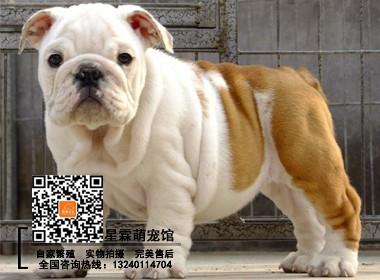 北京英国斗牛犬证书芯片齐全买宠物狗疫苗驱虫已做