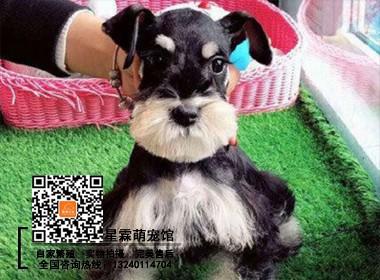 纯种雪纳瑞幼犬 保健康可以签订协议