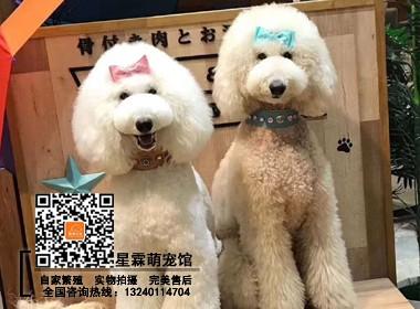 北京贵宾犬舍出售高品质大骨架大毛量各色巨型贵宾犬