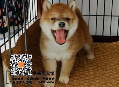 柴犬犬舍专业培育纯种日本柴犬幼犬出售 全国发货