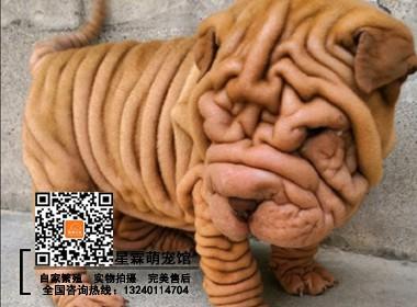 精品沙皮犬 专业繁殖签订质保协议 终身免费售后服务指导