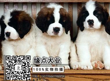 精品圣伯纳犬 高品质纯种健康有保障 可签约送货