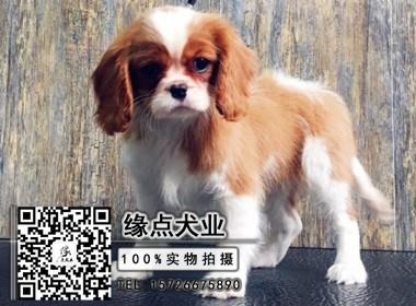 骑士查理王小猎犬 带血统证书 健康质保 可见父母