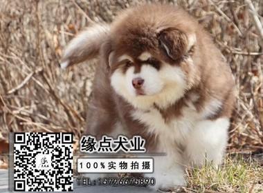 巨型阿拉斯加幼犬 颜色齐全 保纯保健康 可全国发