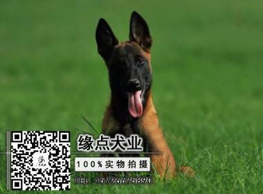 精品纯种马犬出售保健康,可送货,签协议,体型完美
