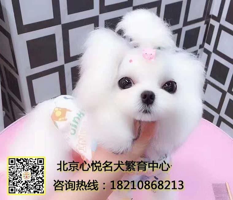 高品质马尔济斯幼犬 纯种健康签协议 欢迎上门包配送