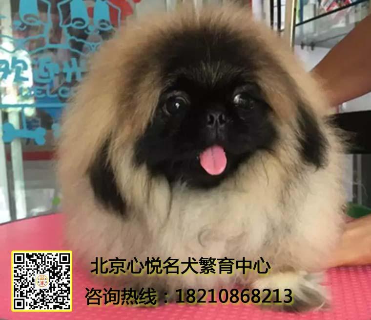 长的像狮子的尊贵象征小公举 北京京巴犬 丑萌小网红