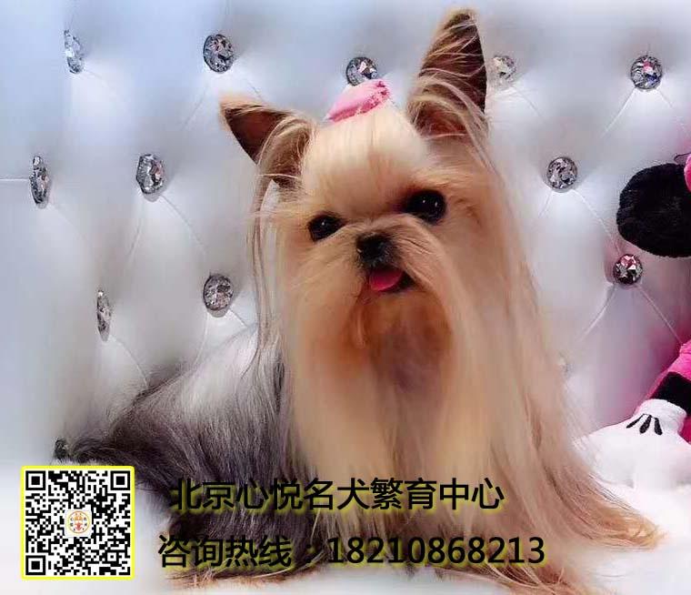 韩版超小体约克夏犬、金头银背、茶杯体约克夏幼犬