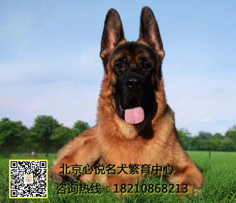 精品锤系德国牧羊犬 名犬后代 保健康包纯种