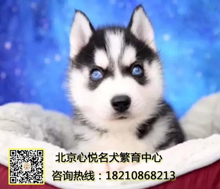 纯种哈士奇狗出售二哈疫苗驱虫已做保活 全天送货北京