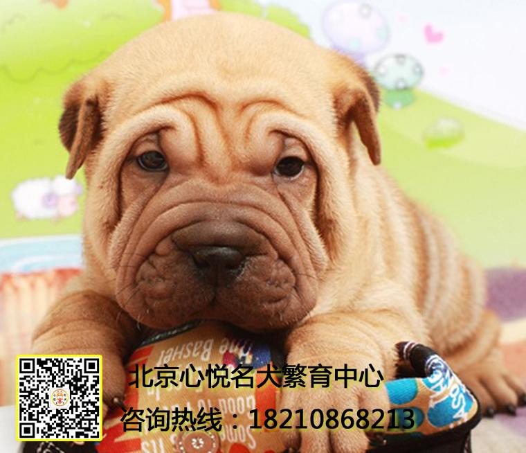 出售高品质沙皮犬幼犬 血统纯正 体型完美 健康纯种