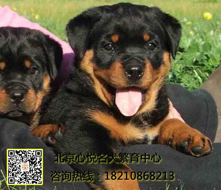 赛级双血统,专业繁殖罗威纳,签购犬协议,质保终生