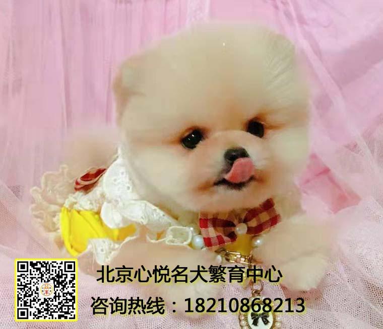 高品质哈多利球体博美 冠军级后代幼犬宝宝待售