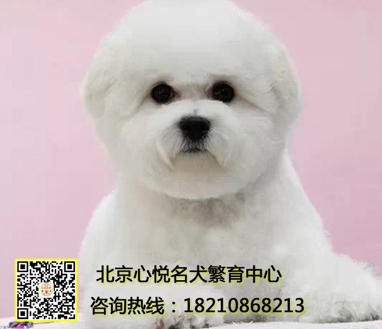 北京比熊犬舍 法国卷毛比熊犬幼犬棉花糖比熊犬专注