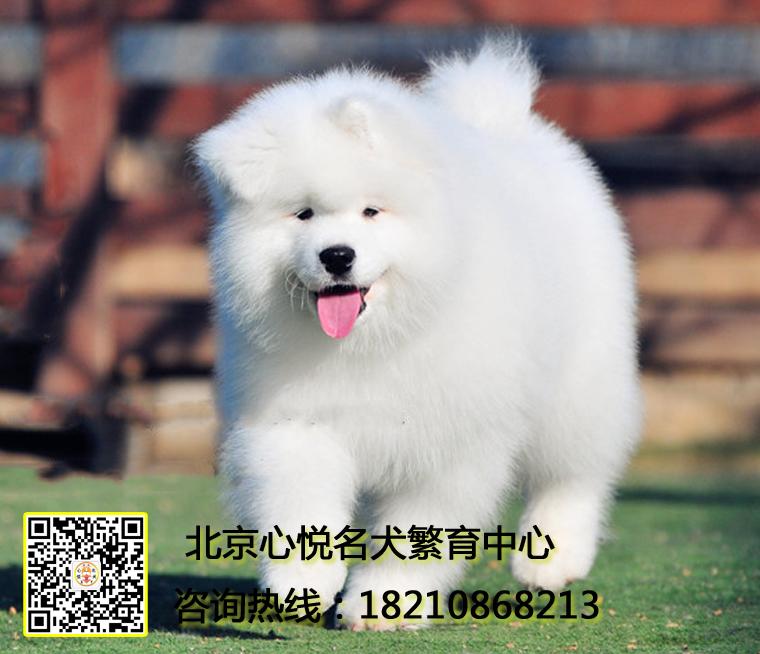 高品质北京专业繁殖萨摩耶 血统纯正保健康 可签协议