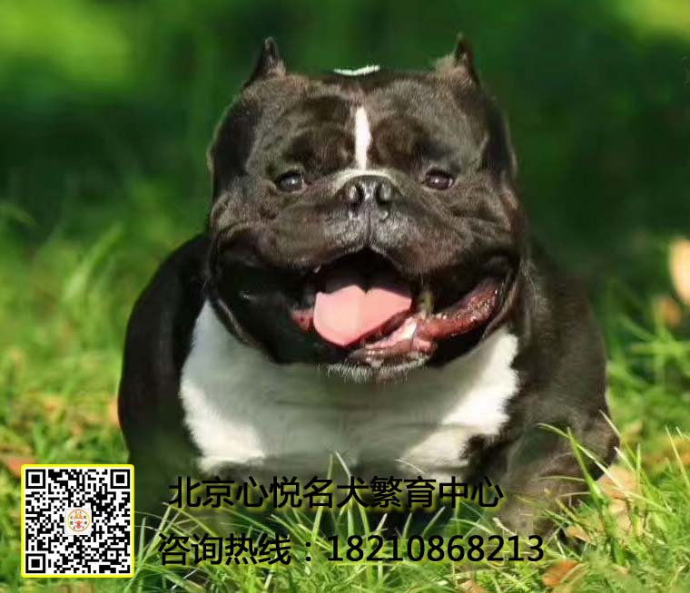 CKU认证犬舍 专业出售极品 美国恶霸犬幼犬保障品质售后