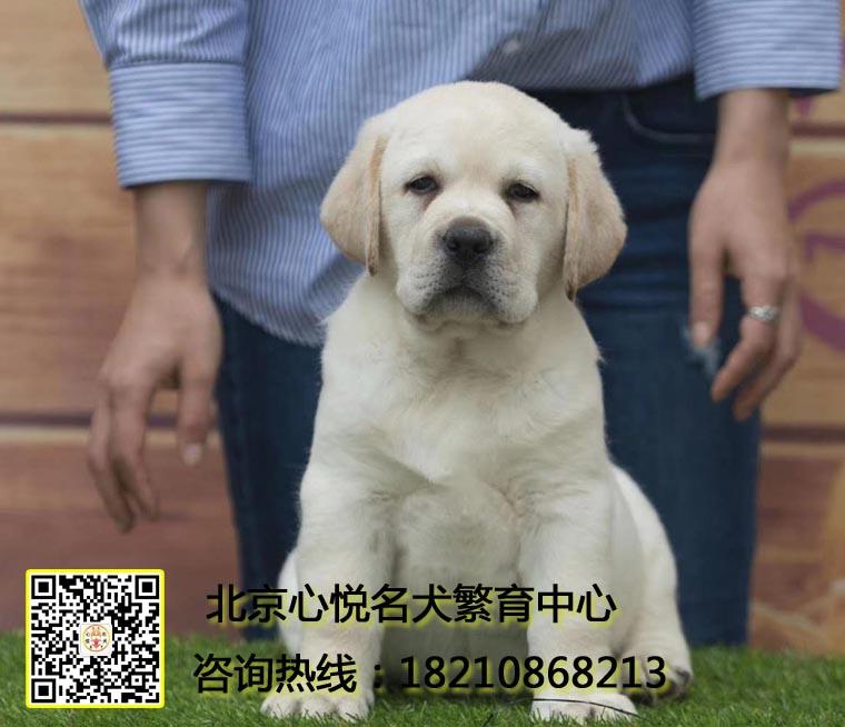 高品质拉布拉多,北京专业繁殖犬舍,质保一年,不活包退