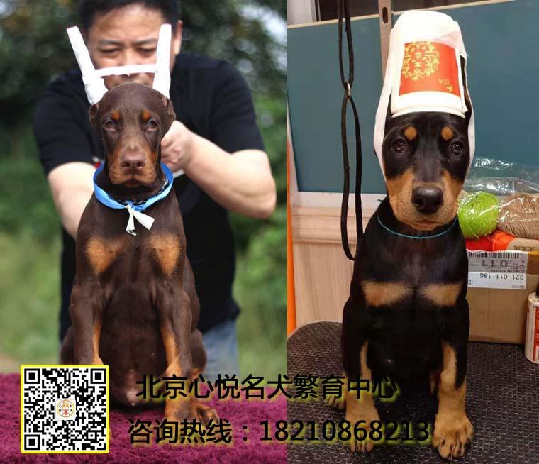 纯种高品质杜宾犬,大骨量,多只可挑选,购犬签协议