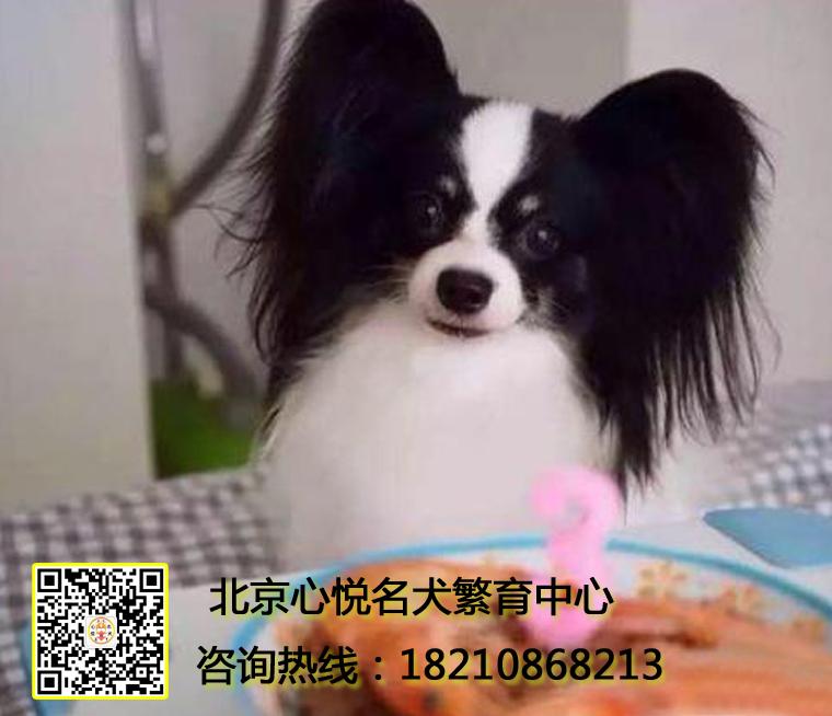 蝴蝶犬 北京狗场专业繁育 包活包纯 签协议 包活