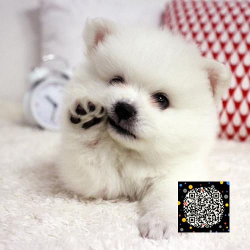 精品银狐犬丨血统纯正健康包活丨北京可送货上门全国发货