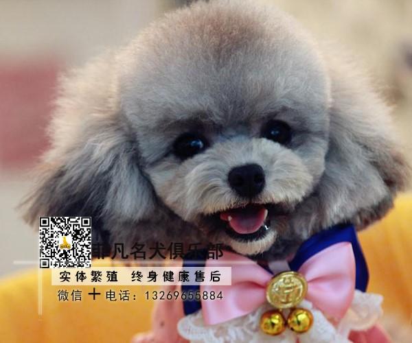 纯种茶杯泰迪犬丨血统纯正健康包活丨北京包配送上门