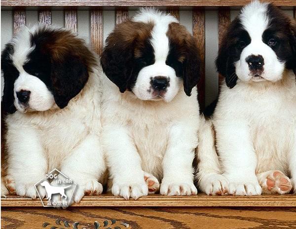 纯种圣伯纳幼犬丨血统纯正健康包活丨可送货签合同