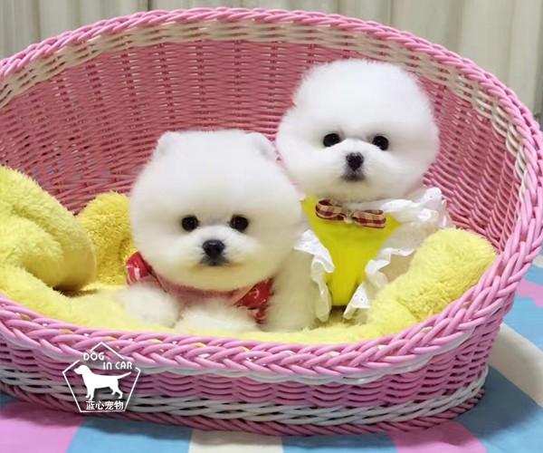 纯种小体博美颜色齐全、视频看狗可送货、签售后协议