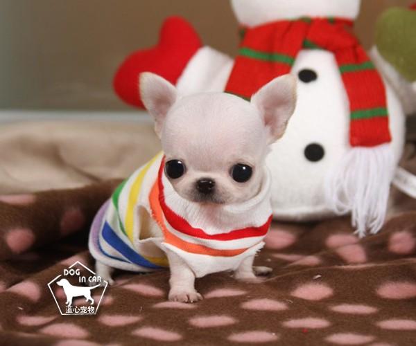 纯种超小体吉娃娃幼犬,多只待售,疫苗齐全,健康纯种