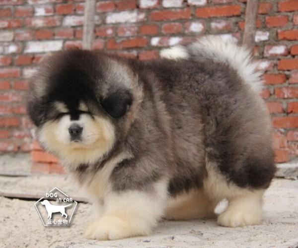 巨型阿拉斯加幼犬 颜色齐全 保纯保健康 全国可发货