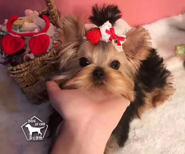 精品纯种小体约克夏犬 全国可发货签协议保健康