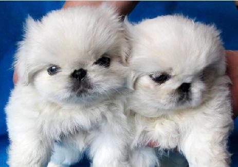 纯种京巴幼犬北京犬狮子狗京巴犬京巴狗北京哈巴狗