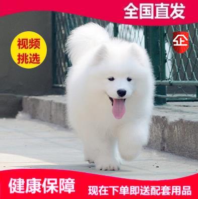 纯种萨摩耶幼犬活体萨摩犬纯种澳版熊版萨摩耶幼犬活体家养