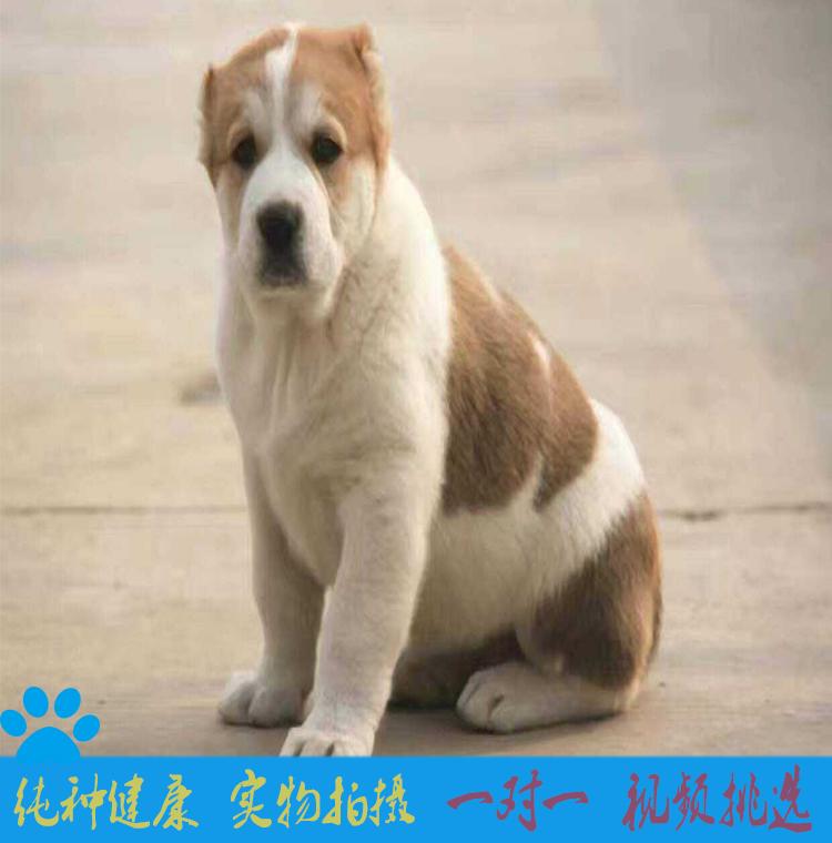 中亚牧羊犬纯种坎高犬幼犬巨型中亚牧羊犬活体土耳其坎高犬1