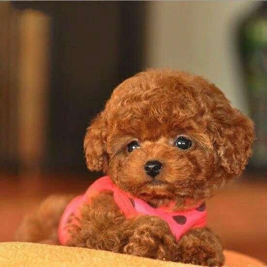 纯种泰迪幼犬活体宠物家养小型迷你泰迪狗贵宾犬活体茶杯犬2
