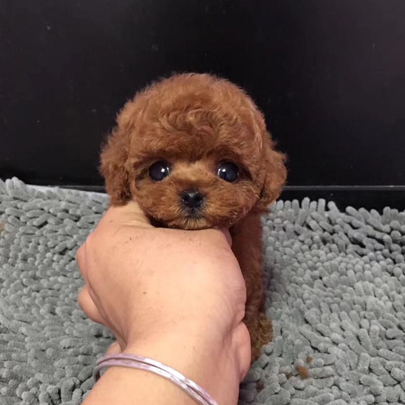 纯种泰迪幼犬活体宠物家养小型迷你泰迪狗贵宾犬活体茶杯犬4