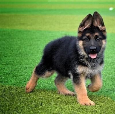 出售德国牧羊犬幼犬活体纯种狼狗警犬幼崽锤系黑背犬弓背德牧