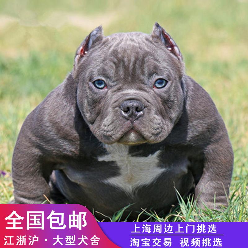 犬舍直销恶霸幼犬纯种赛级美国恶霸犬狗狗活体家养宠物狗幼犬