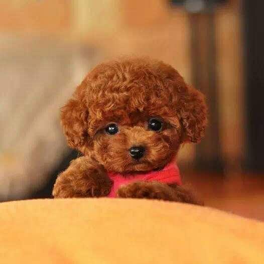 纯种泰迪幼犬活体宠物家养小型迷你泰迪狗贵宾犬活体茶杯犬1