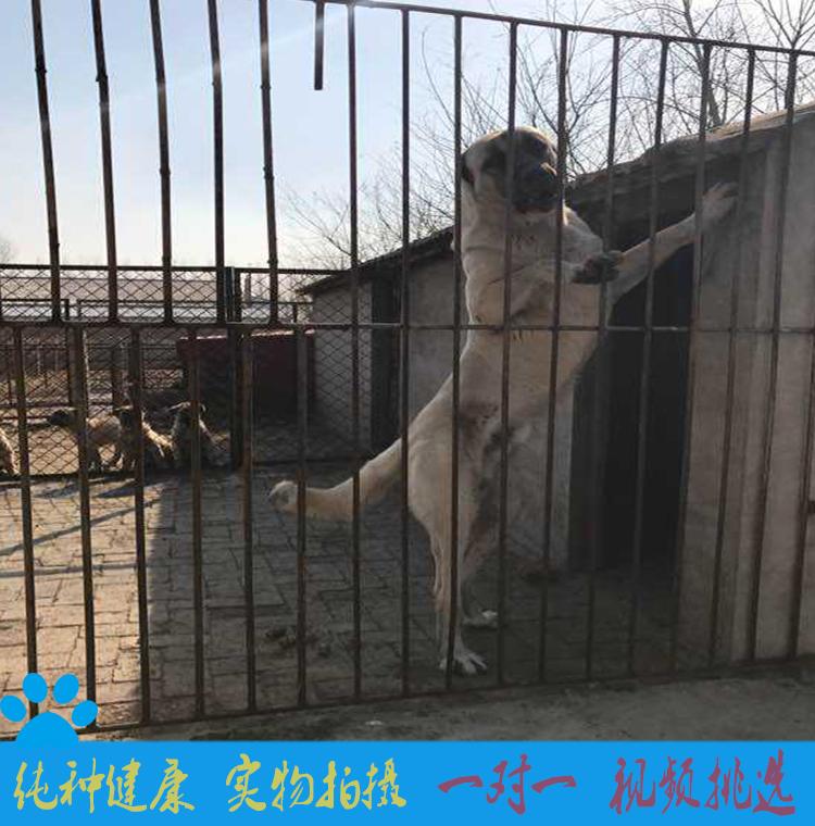 中亚牧羊犬纯种坎高犬幼犬巨型中亚牧羊犬活体土耳其坎高犬3