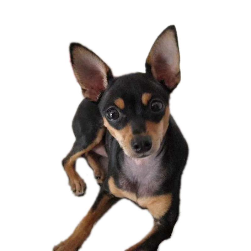 出售纯种小鹿犬宠物狗活体犬小型犬家养狗狗迷你型小鹿犬幼崽狗