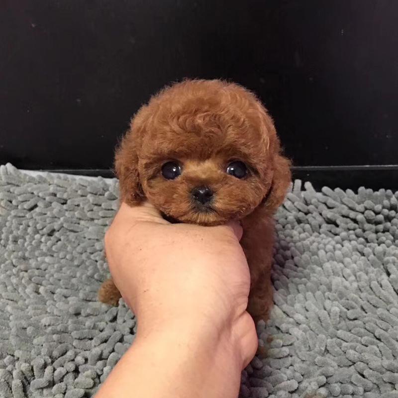 纯种泰迪幼犬活体宠物家养小型迷你泰迪狗贵宾犬活体茶杯犬3