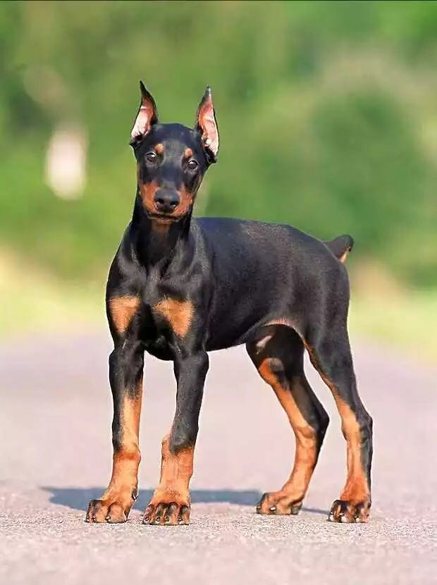 杜宾幼犬活体杜宾犬幼犬活体精品德系杜宾幼犬纯种杜宾幼犬训练
