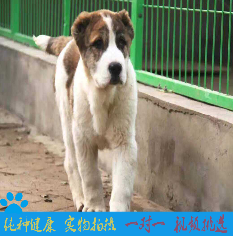 中亚牧羊犬纯种坎高犬幼犬巨型中亚牧羊犬活体土耳其坎高犬2